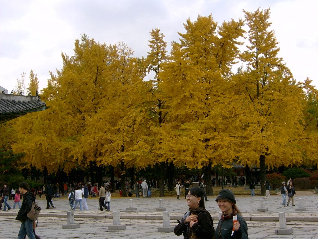 朋友的照片秋天里黄色的银杏树叶 摄影俱乐部 爱威海社区